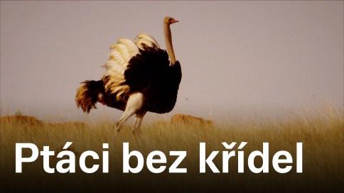 Ptáci bez křídel
